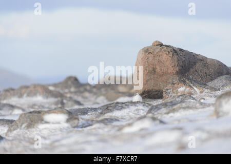 Rock Ptarmigan (Lagopus muta) adult female, non-breeding plumage, sheltering amongst rocks in snow, Cairngorms N.P., - Stock Photo