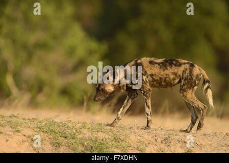 African Wild Dog (Lycaon pictus pictus) adult, walking, Mana Pools N.P., Mashonaland, Zimbabwe, November - Stock Photo