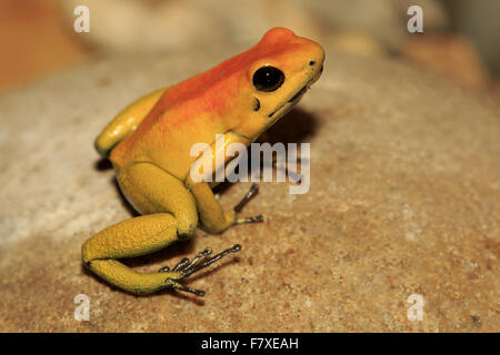 Black-legged Poison Arrow Frog (Phyllobates bicolor) adult, sitting on rock (captive) - Stock Photo
