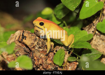 Black-legged Poison Arrow Frog (Phyllobates bicolor) adult, calling, sitting on log (captive) - Stock Photo