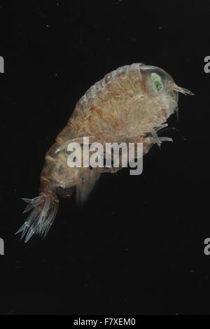 Big-eyed Amphipod (Hyperia galba) adult, taken from jellyfish, Dorset, England, June (captive) - Stock Photo