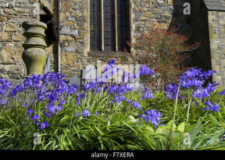 Hybrid Bluebell (Hyacinthoides non-scripta x hispanica) Common x Spanish hybrid, flowering, growing in church graveyard, - Stock Photo