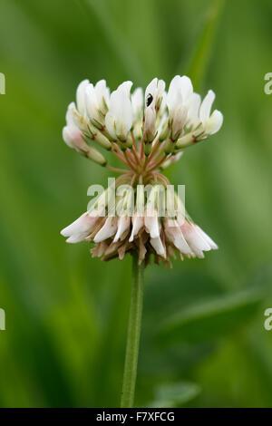 White Clover, Trifolium repens, flower, nitrogen fixation forage plant, Berkshire, England, August - Stock Photo