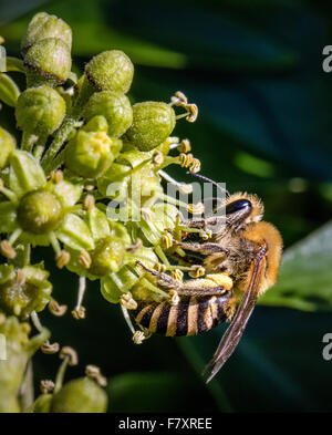 Ivy Bee Colletes hederae - a species of solitary miner bee - feeding on ivy flower Hedera helix - Stock Photo