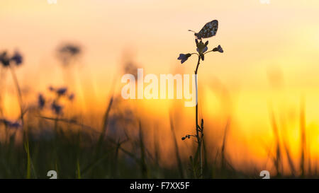orange tip on cuckoo flower, anthocharis cardamines - Stock Photo