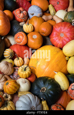 A variety of colourful pumpkins marrows and squashes large and small - Stock Photo