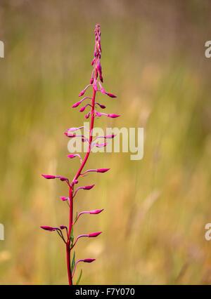 Flower spike of Rosebay Willowherb Chamerion angustifolium in bud