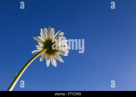 Ox-eye daisy / oxeye daisy (Leucanthemum vulgare / Chrysanthemum leucanthemum) in flower against blue sky in summer - Stock Photo