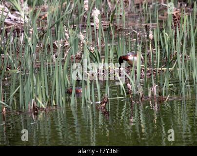 Horned grebe nesting pair at nest in lake in Alberta Canada - Stock Photo