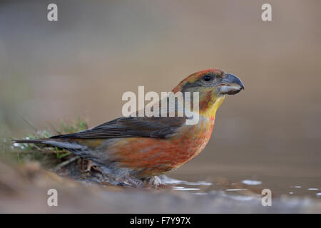 Close up of male Parrot Crossbill / Kiefernkreuzschnabel ( Loxia pytyopsittacus ) sitting at a natural puddle (wildlife). - Stock Photo
