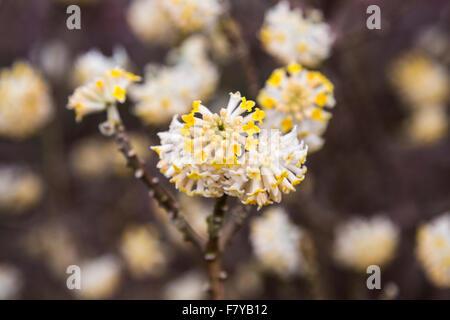 Delicate, deciduous shrub Edgeworthia chrysantha (Oriental Paperbush, Mitsumata) flowering in spring, RHS Gardens, - Stock Photo