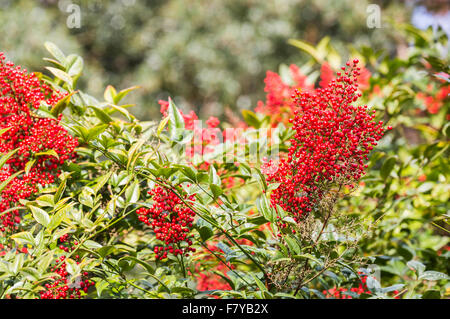 Nandina domestica richmond