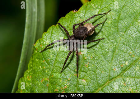 Common wolf-spider (Pardosa pullata) adult female with egg sac perched on a leaf at Vange Marsh, Essex. August. - Stock Photo