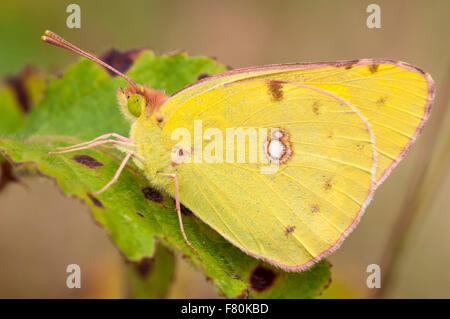 Clouded yellow butterfly (Colias croceus) adult perched on a leaf at Canvey Wick on Canvey Island, Essex. August. - Stock Photo