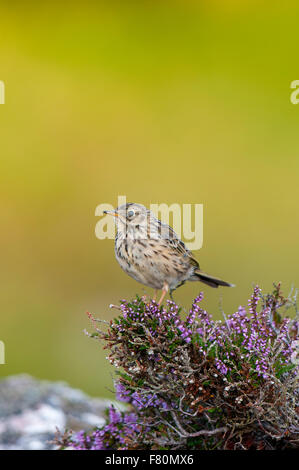 Meadow pipit (Anthus pratensis) adult perched on a clump of heather at Ceannabeinne, Sutherland, Scotland. August. - Stock Photo