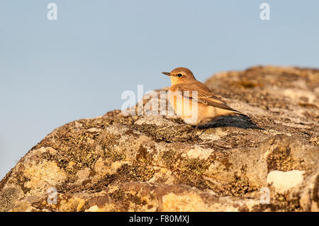 Northern wheatear (Oenanthe oenanthe) adult female perched on a rock at Ceannabeinne, Sutherland, Scotland. August. - Stock Photo