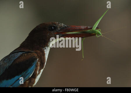 Noida, Uttar Pradesh, India - 12 August, 2013: A White Breasted Kingfisher holding praying Mantis in his long red - Stock Photo
