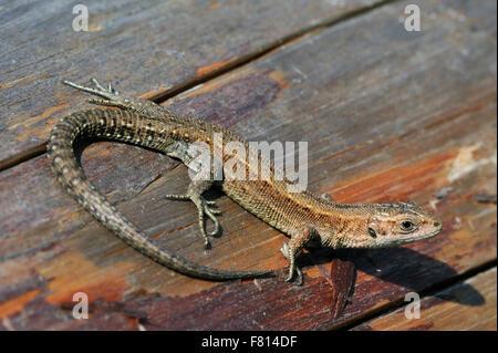 Viviparous lizard / common lizard (Zootoca vivipara / Lacerta vivipara) basking on log in the sun