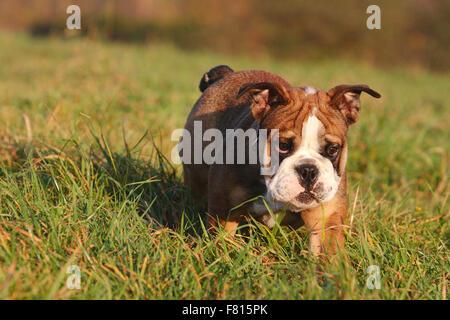 english bulldog, puppy - Stock Photo