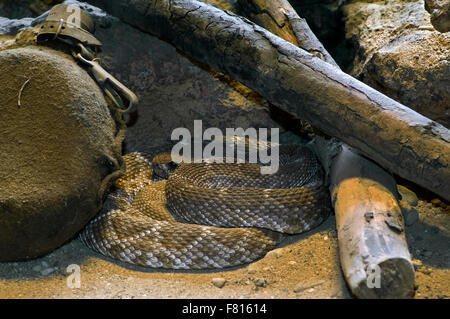 Red rattler / western diamond-backed rattlesnake (Crotalus ruber) resting curled up under woodpile of campfire, - Stock Photo