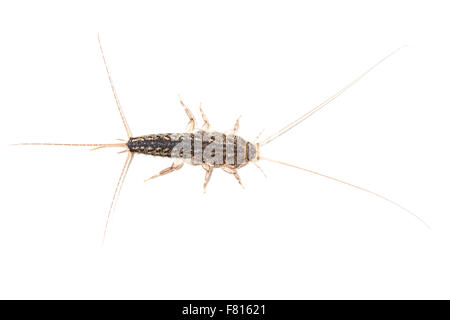 A silverfish, Lepisma saccharina, isolated on white background. This small insect, common in domestic houses, can - Stock Photo