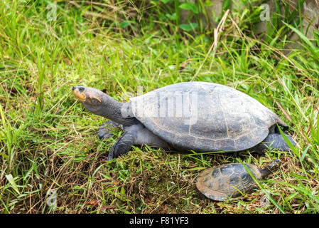 Yellow spotted Amazon river turtle in Iquitos, Peru - Stock Photo