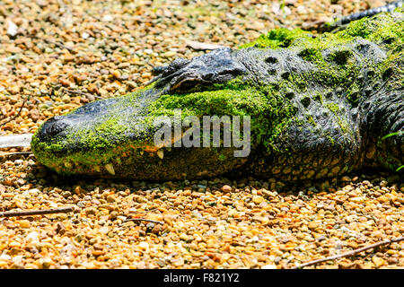 Florida Alligator basking in the undergrowth of the Homosassa Springs Wildlife State Park - Stock Photo