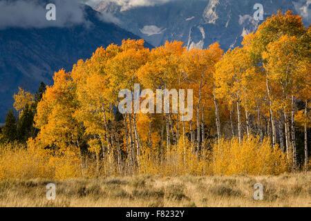 Fall aspen trees against the Teton Mountains, Grand Teton National Park, Wyoming - Stock Photo