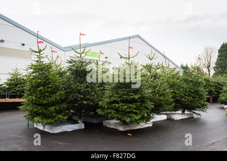 christmas trees on sale in a uk garden centre stock photo - Christmas Tree For Sale