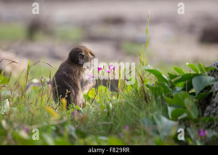 A juvenile crab-eating macaque (Macaca fascicularis) holding a flower - Stock Photo