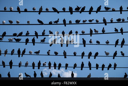 A flock of pigeons sitting on power cables in Chiang Mai, Thailand - Stock Photo