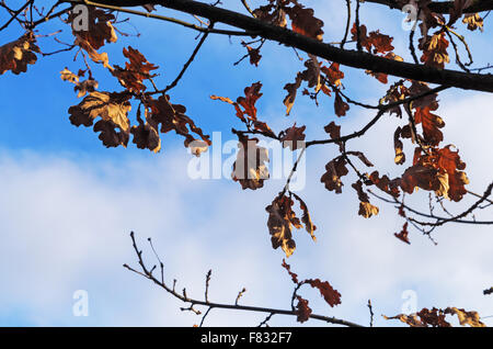 Autumn leaves of an oak remained on its branches till spring. - Stock Photo