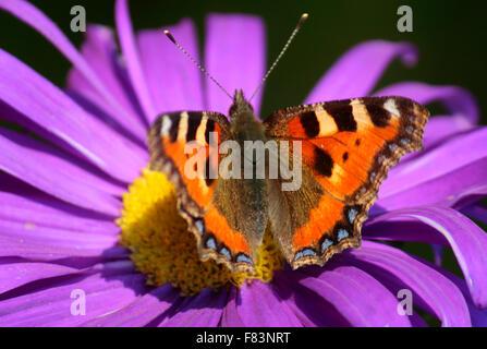 Blume, Schmetterling - Impressionen: spaetsommerlicher Garten, Berlin. - Stock Photo