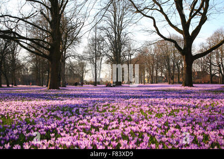 Blooming crocus meadow at Castle Park, Husum, North Frisia,  Schleswig-Holstein, Germany, Europe - Stock Photo