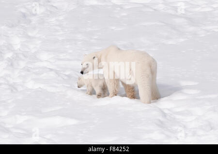 A Mother Polar Bear (Ursus Maritimus) and her newly born cub journey across the snow covered landscape of Spitsbergen - Stock Photo
