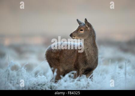 Red deer calf in winter - Stock Photo