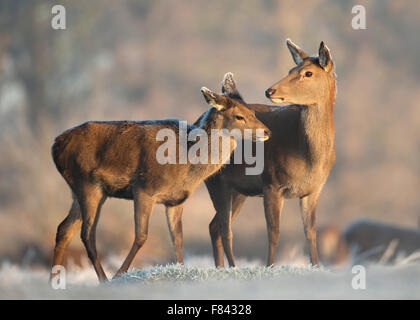 Red deer hind with a calf in winter - Stock Photo