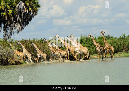 A tower of spooked Giraffes - Stock Photo