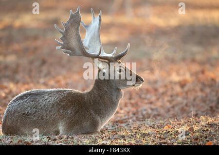 Fallow deer in late autumn - Stock Photo