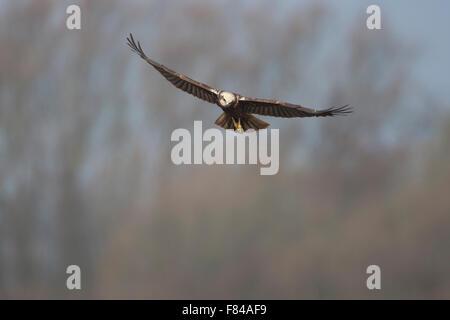 female Marsh Harrier in flight head on - Stock Photo