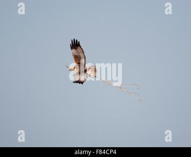 male Marsh Harrier in flight from above against sky carrying nest material - Stock Photo