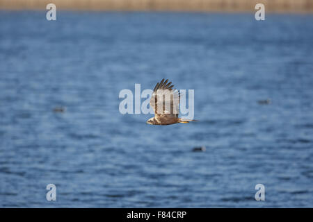 female Marsh Harrier in flight from below with water as background - Stock Photo