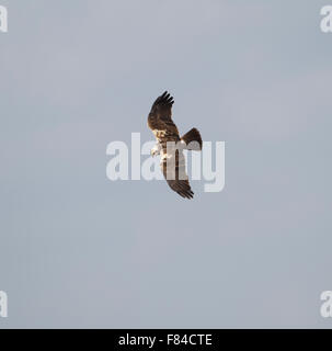 female Marsh Harrier in flight from above with sky as background - Stock Photo