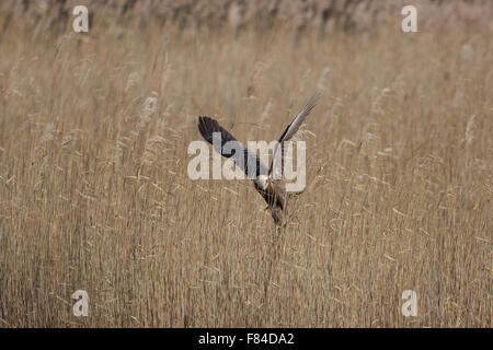 female Marsh Harrier in flight from below with reedbed as background - Stock Photo