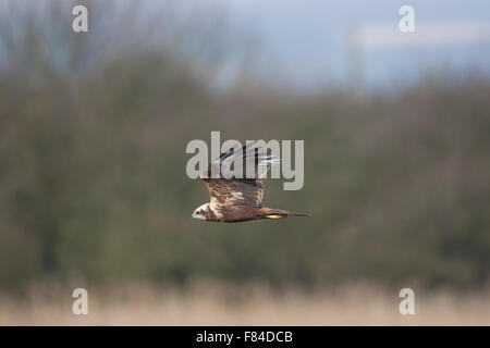 female Marsh Harrier in flight from below with bushes as background - Stock Photo