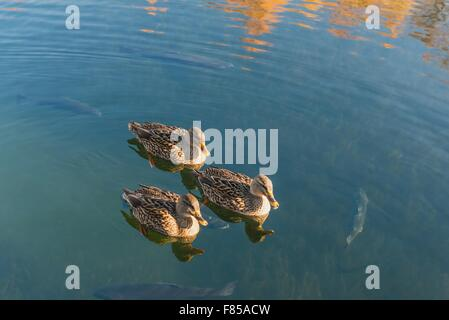 Ducks and trout in the lake - Stock Photo