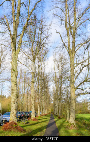 Row of tall leafless Lime trees (Tilia) in Winter in Mill Road in Arundel, West Sussex, England, UK. Lime tree avenue. - Stock Photo