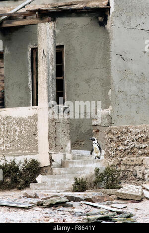 African penguin (Spheniscus demersus) on steps of abandoned building - Halifax Island, Luderitz, Namibia, Africa - Stock Photo