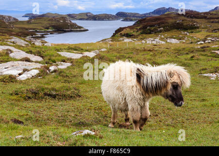 Wild pony with a shaggy coat on coastal grassland. Loch Sgioport South Uist Outer Hebrides Western Isles Scotland - Stock Photo