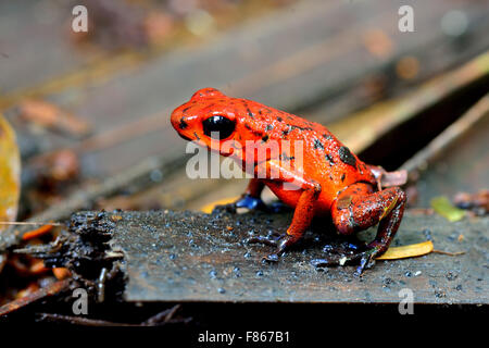 Dendobrates pumilio or Blue Jeans Dart Frog in Costa Rica's tropical rain forest - Stock Photo